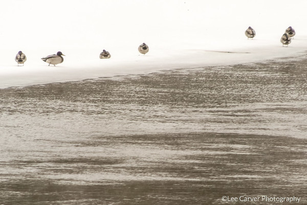 Mallard Ducks on snow field.