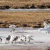 Trumpeter Swans on Elk Preserve