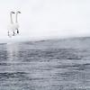 Trumper Swans