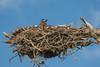 Great Horned Owl Nesting