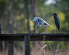 Little Blue Heron and Juvenile (1st Spring) Little Blue Heron