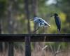 Little Blue Heron and Juvenile (1st Spring) Little Blue Heron