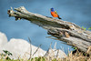 Painted Bunting On A Log