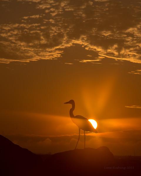 Heron With Sun-flare