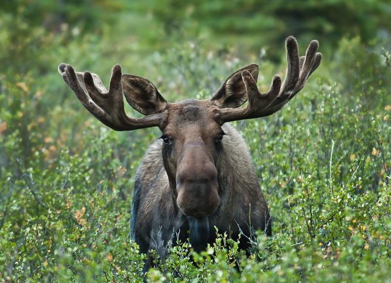 Bull Moose - Taken in Alaska at Denali National Park.