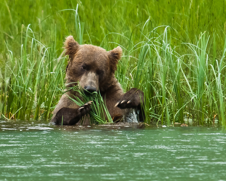 Wild Grizzly in Alaska