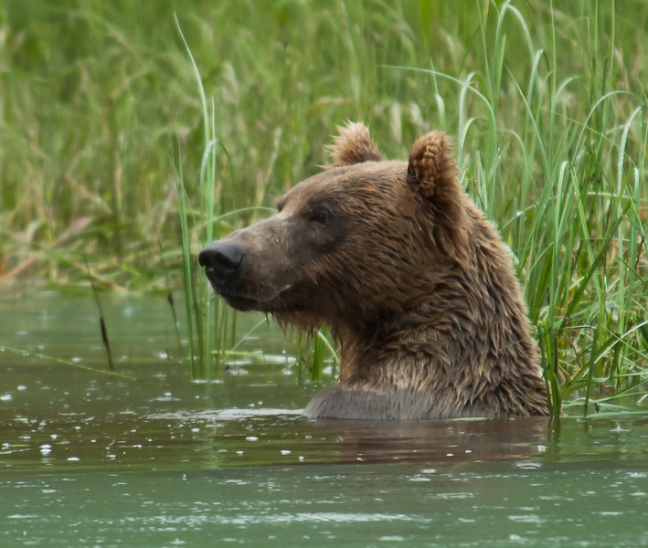 Bear Profile - Taken at Big River Lake in Alaska