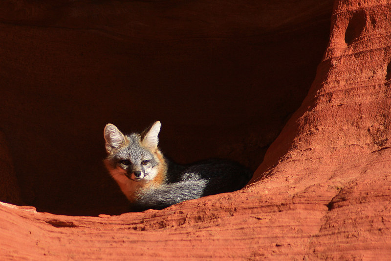Red Fox - South Coyote Butte, AZ