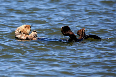 Sea Otter - California