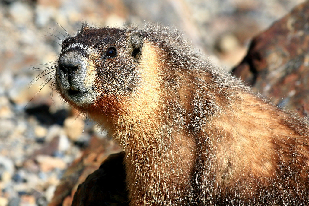 Yellow-bellied Marmot - Yosemite Nation Park, California