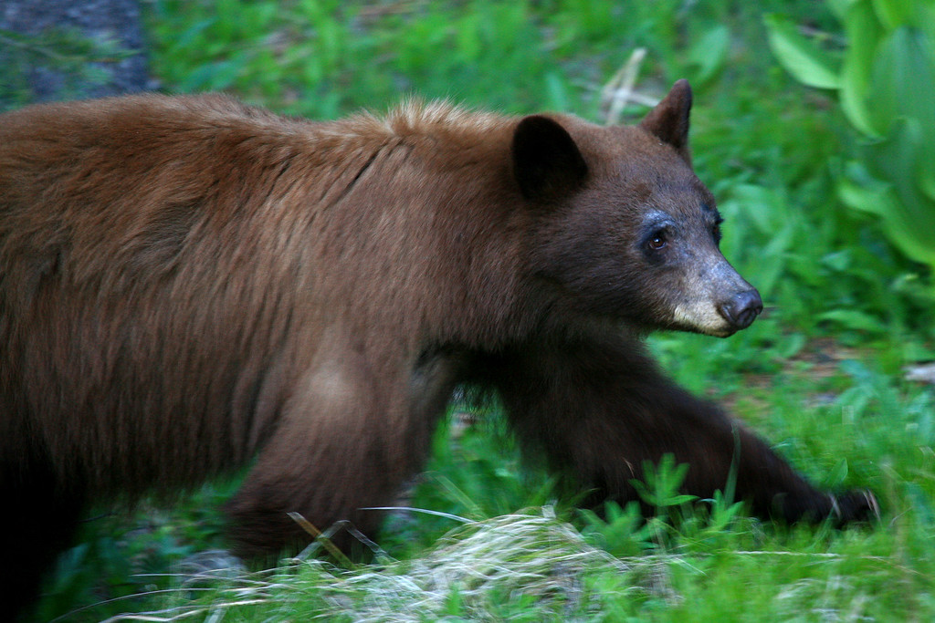 Black Bear - Yosemite NP, California