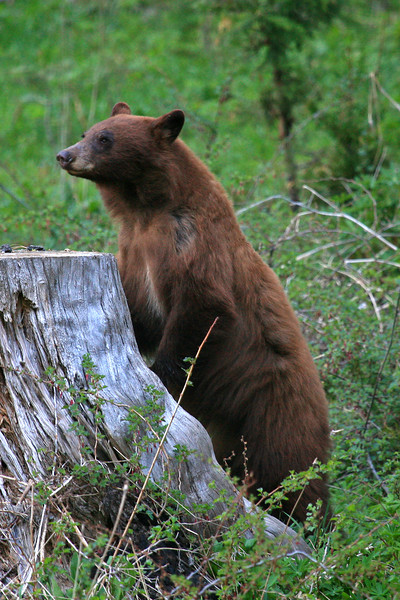 Black Bear - Yosemite National Park, California