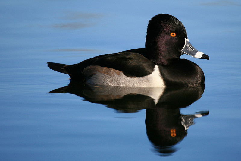 Male Ring-necked Duck - Southern California