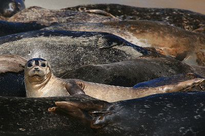 Harbor Seals - La Jolla, California