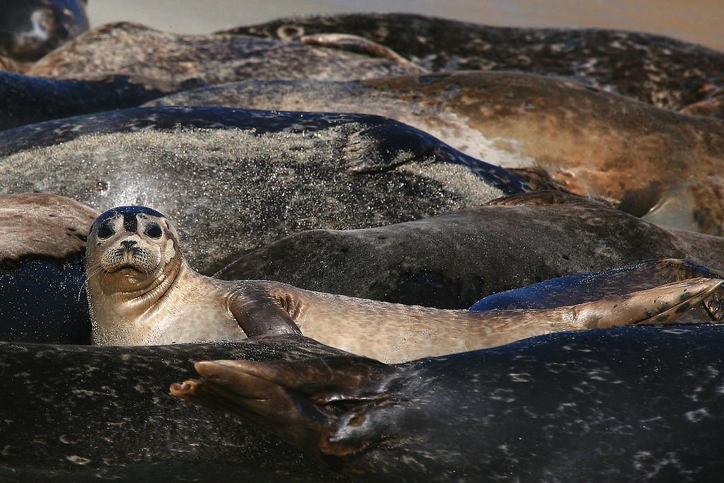 Harbor Seals - La Jolla, California