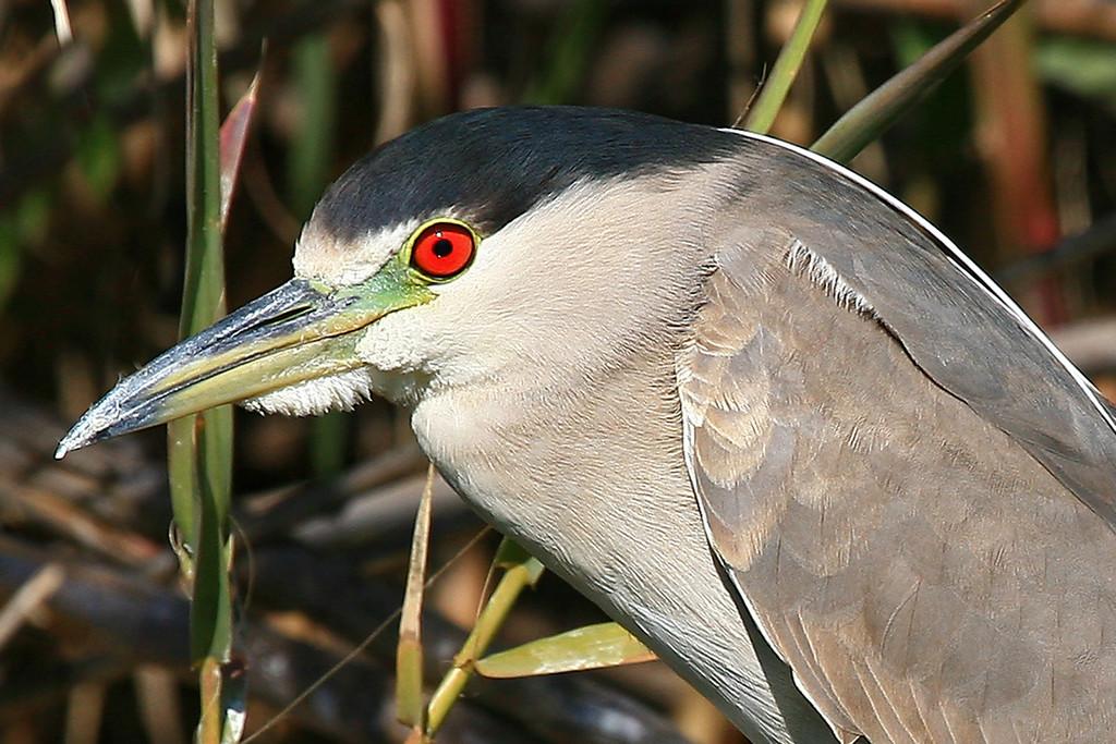 Black-Crowned Night Heron - San Diego, CA