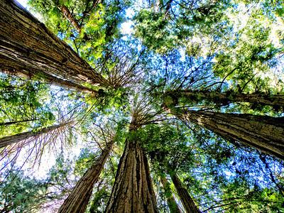 Giant Redwoods - Muir Woods - California