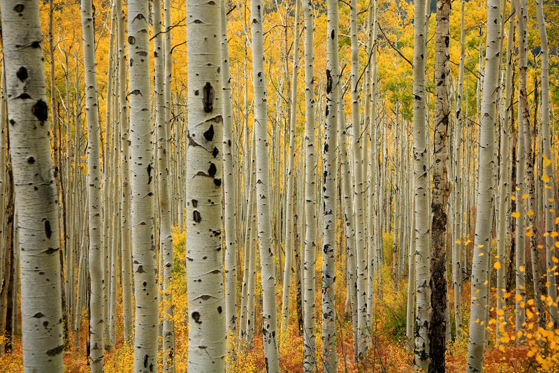 Fall Aspen - Aspen, Colorado
