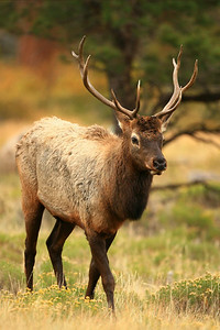 Bull Elk - Rocky Mountain NP, Colorado
