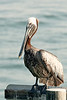 Pelican-2