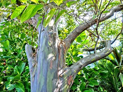 Hawaiian Sycamore - Kauai, Hawaii