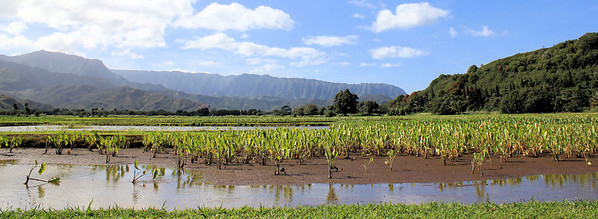 """Taro Fields"" This was a 2009 Hawaii Magazine Photo Contest Entry Finalist"