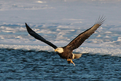 Bald Eagle on the Mississippi River - Burlington, Iowa