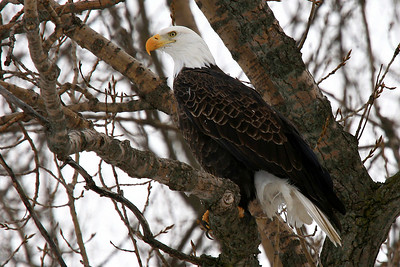 Bald Eagle - Gladstone, Illinois