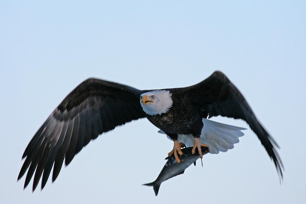 Bald Eagle on the Mississippi River - Burlington, Iowa