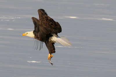 Bald Eagle - Burlington, Iowa