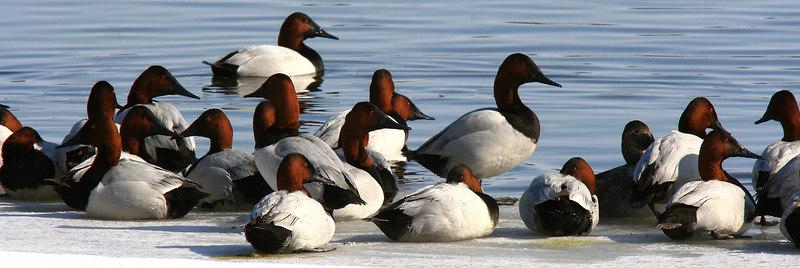 Canvasback Ducks - Burlington, Iowa