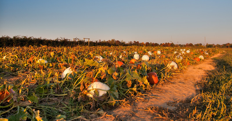 Pumpkin Patch at Joe Huber's Orchard in Indiana
