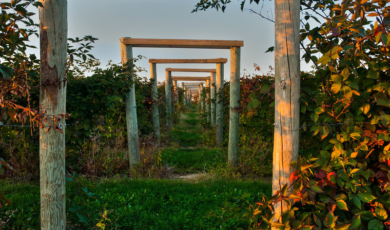 Berry Vines at Joe Huber's Orchard in Indiana