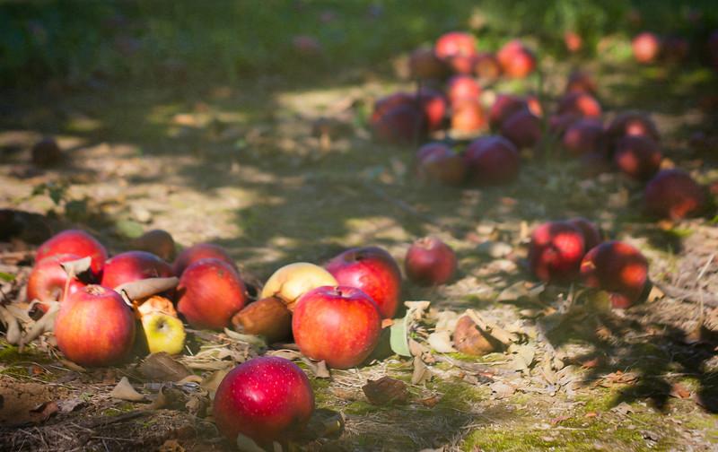 Apple Harvest at Huber's Orchard