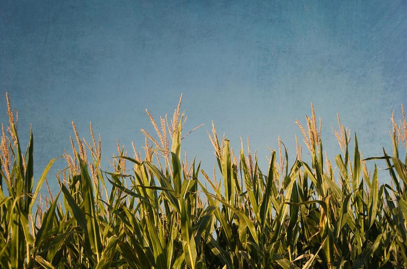 Corn Field at Huber's Farm