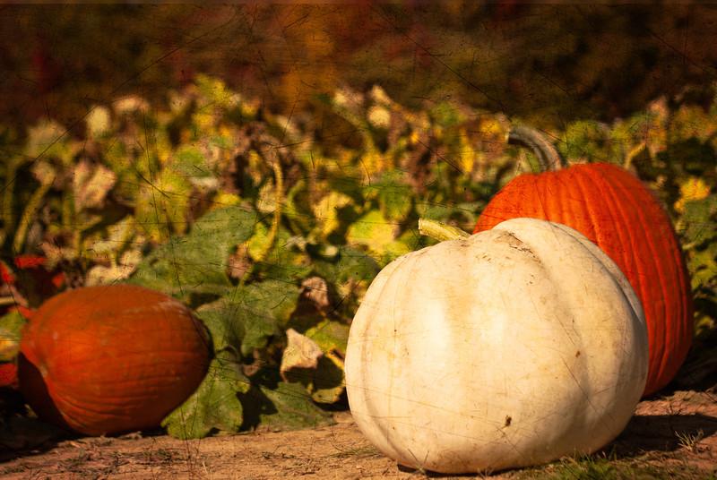 Pumpkin Patch at Joe Huber farm