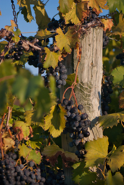 Grapes on a Post at Huber's Orchard in Indiana
