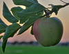 Apple at Sunset
