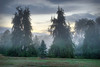 Cedars of Burnheim Arboretum on a Foggy Morning