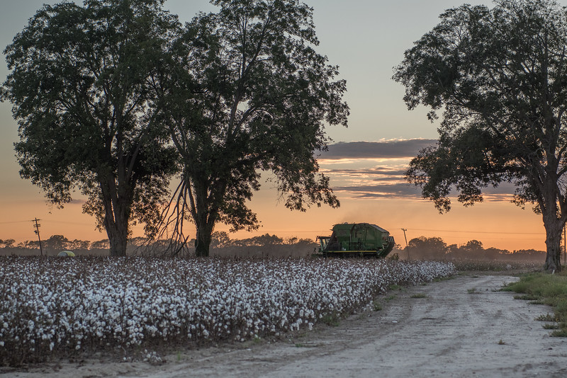 Cotton Harvest At Dusk