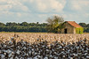 Delta Barn and Cotton