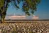 Delta Cotton, Hwy. 602, barn, tree, Judy Rushing, Rushing Images