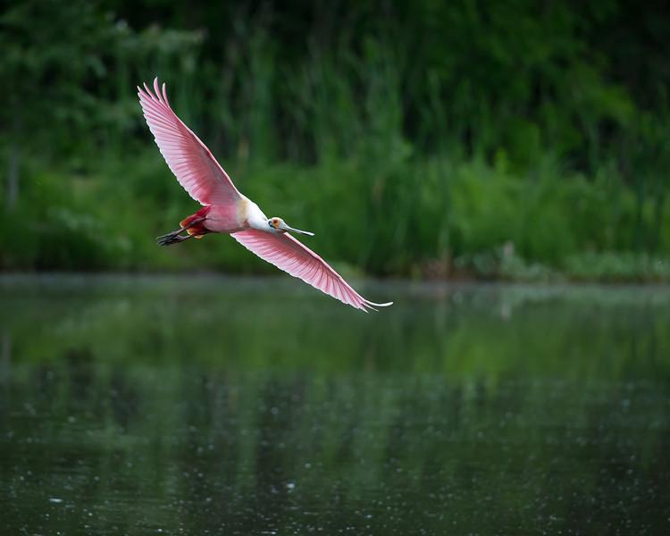 Roseate Spoonbill In Flight-2