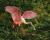 Roseate Spoonbill at Jefferson Island