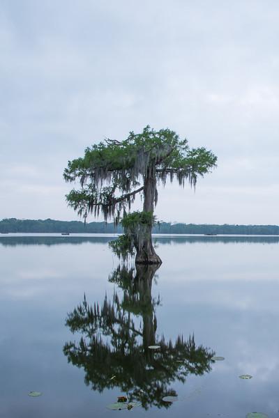 Solitary Cypress Tree at Lake Martin
