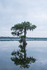 Solitary Cypress Tree at Lake Martin