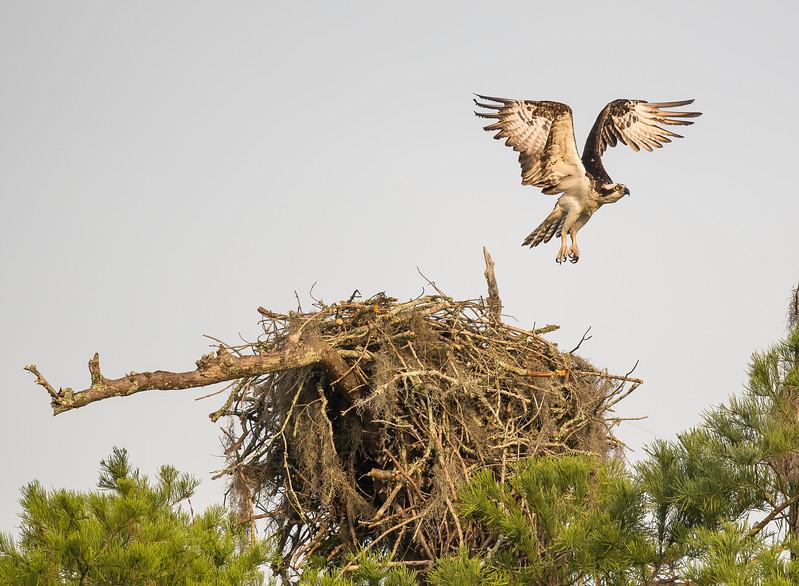 Osprey Leaving Nest at Lake Martin