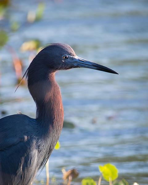 Little Blue Heron Portrait