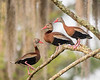 Black-bellied Whistling Ducks at Lake Martin