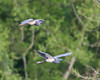 Flying Tricolored Heron Pair